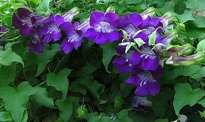 ASARINA scandens Mystic Purple aka Joan Lorraine (Creeping Gloxinia)