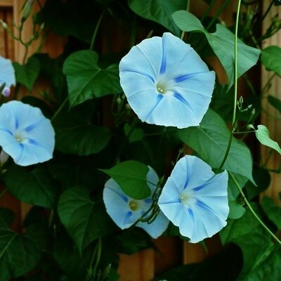 MORNING GLORY VINE  ipomoea tricolor Ismay