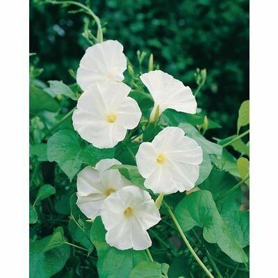 MORNING GLORY VINE ipomea alba Moonflower