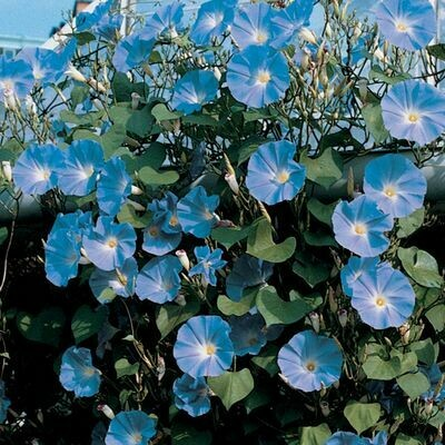 MORNING GLORY VINE ipomoea tricolor Heavenly Blue