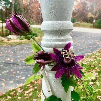 PASSIFLORA  Aphrodites Purple Nightie