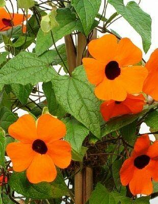 THUNBERGIA alata Sunny Orange Wonder