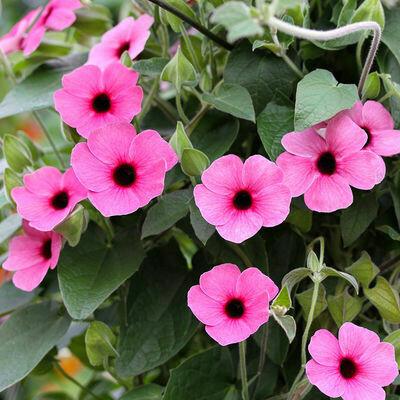 THUNBERGIA alata Sunny Susy Rose Sensation
