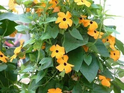 THUNBERGIA alata Susie Orange with Black Eye