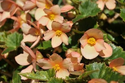 BEGONIA  I'conia Unbelievable Lucky Strike