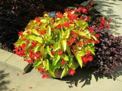 BEGONIA  Canary Wings