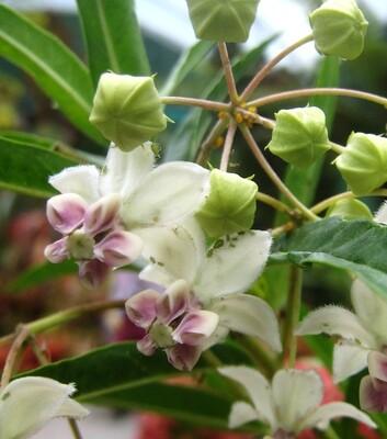 ASCLEPIAS fruiticosus Narrowleaf Cottonbush (Swan Plant)