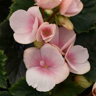 BEGONIA Betulia  Light Pink