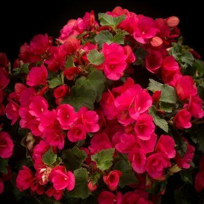 BEGONIA Betulia  Bright Pink