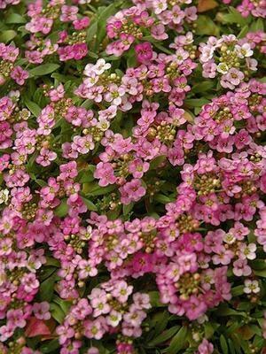 ALYSSUM Lobularia Easter Bonnet Deep Pink