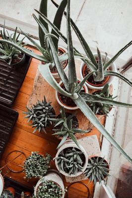 Luna's Aloe + Succulents