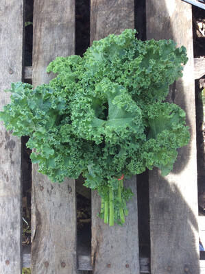 Kale - tender, green - bunch