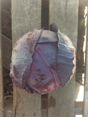 Red Cabbage - Individual