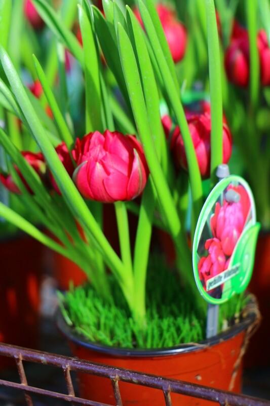 Tulpen Zwiebel