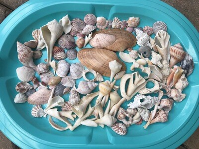G - Lot of Assorted Shells & Pieces - Free Shipping