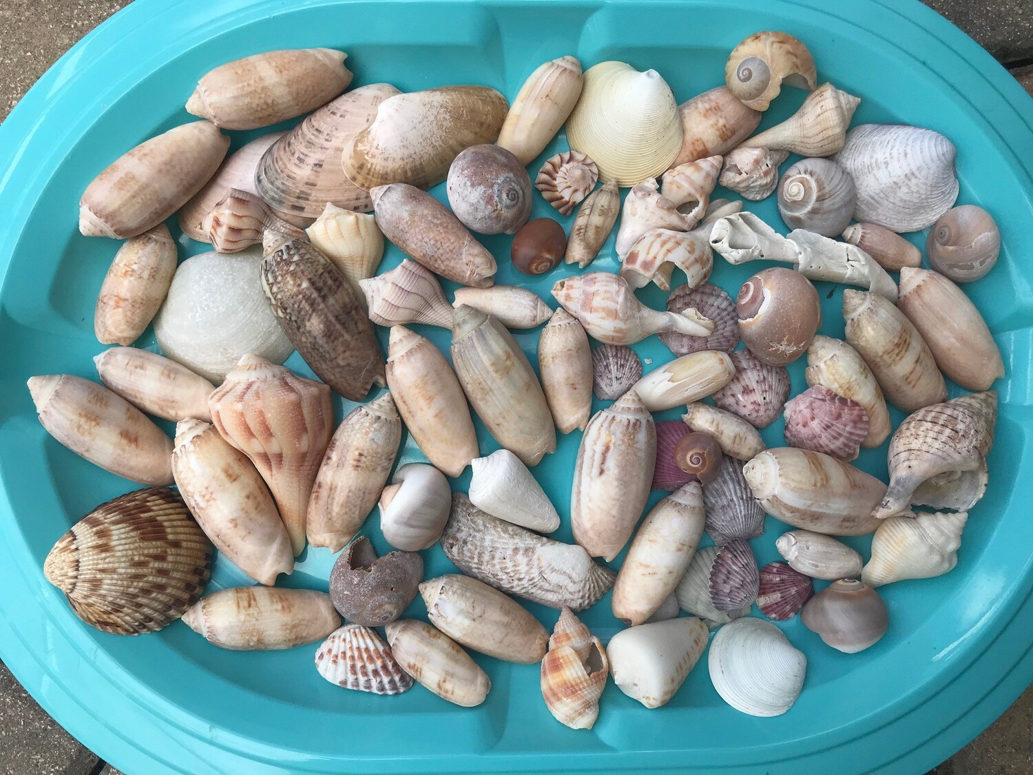 A - Lot of Assorted Shells - Free Shipping