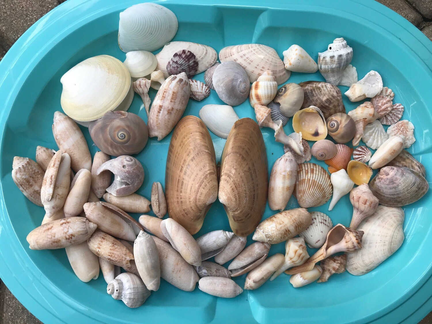 C - Lot of Assorted Shells - Free Shipping