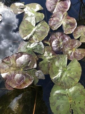 Hardy Water Lily: Texas Dawn