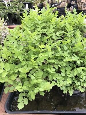 1 Gal Water Celery