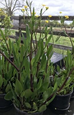 1 Gal Ranunculus Flammula
