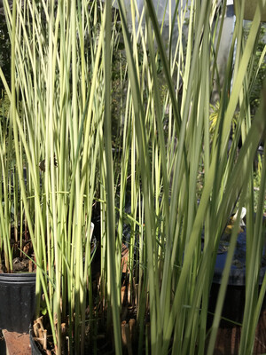 1 Gal White Bulrush