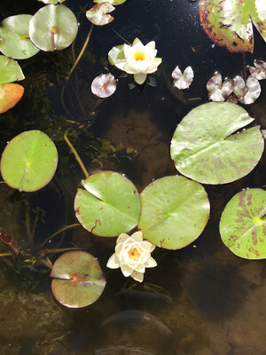 Hardy Water Lily: Virginalis