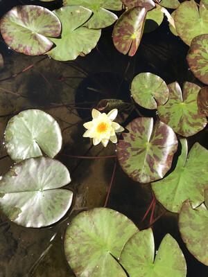 Hardy Water Lily: Chromatella