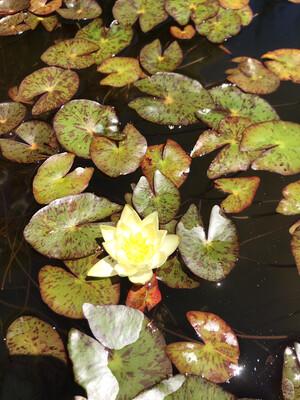 Hardy Water Lily: Helvola Dwarf
