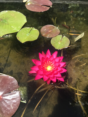Hardy Water Lily: Ms. Siam