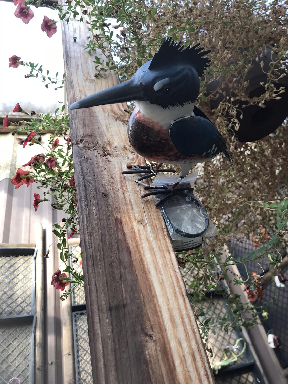 Regal Kingfisher