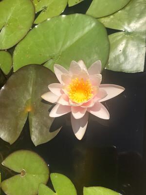 Hardy Water Lily: Marliacea Carnea