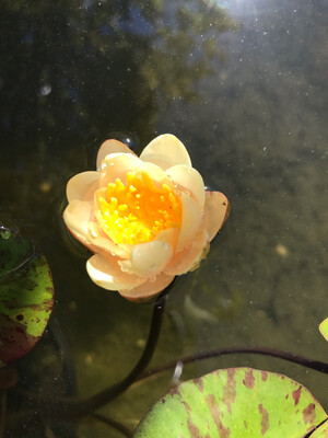 Hardy Water Lily: Indiana