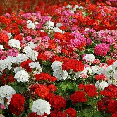 Staande geranium, in kleuren