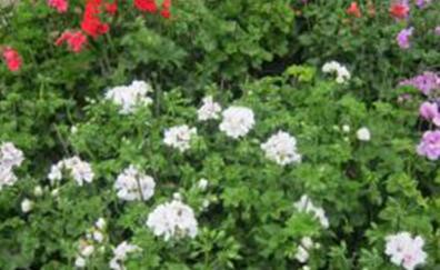 Hang geranium, in kleuren