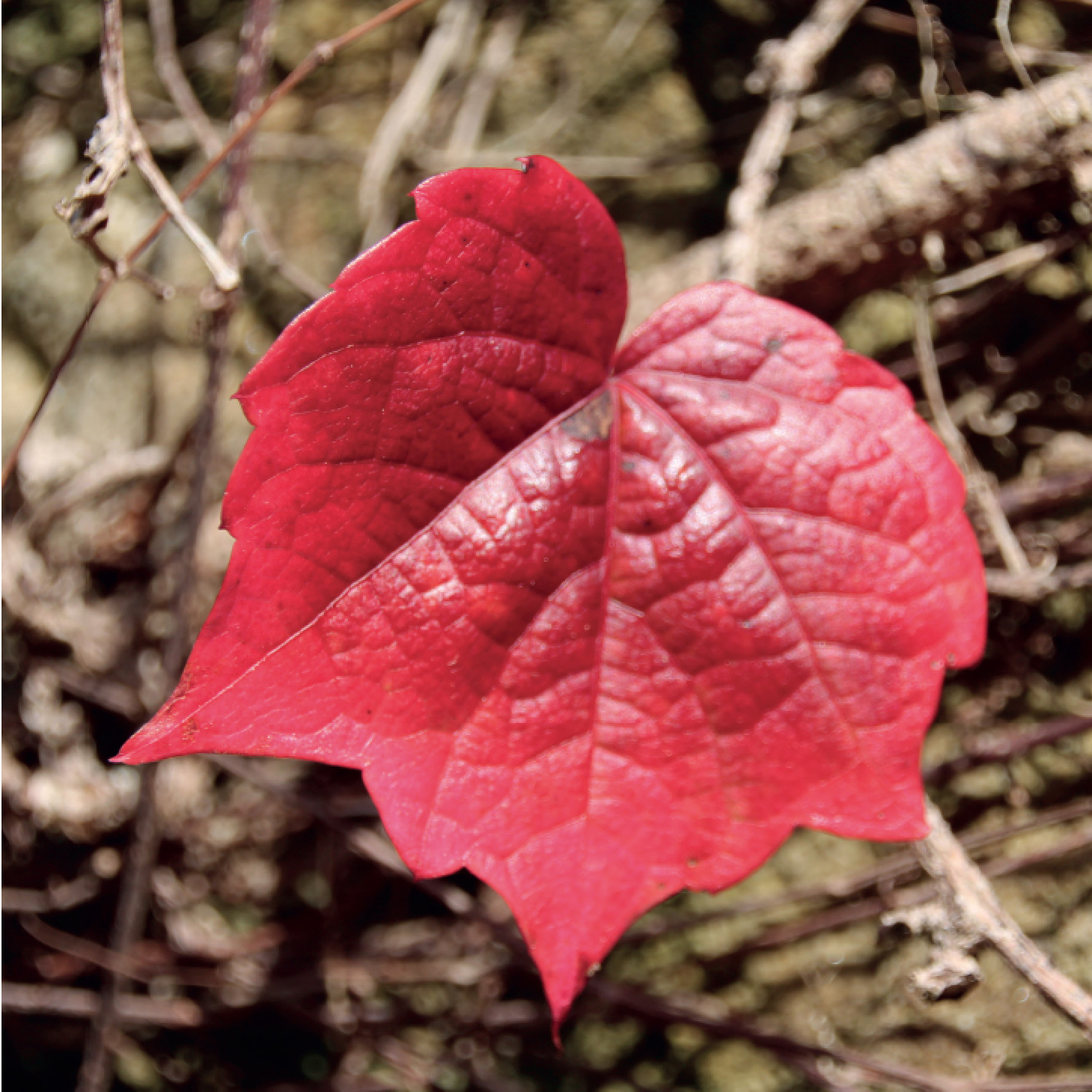 'Red Leaf' Greeting Card (Set of 10)