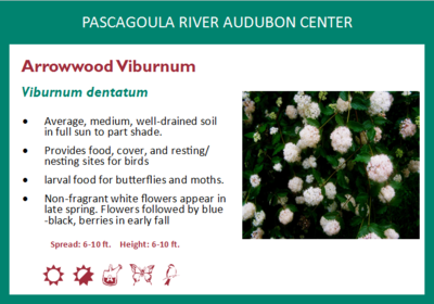 Arrowwood Virbunum