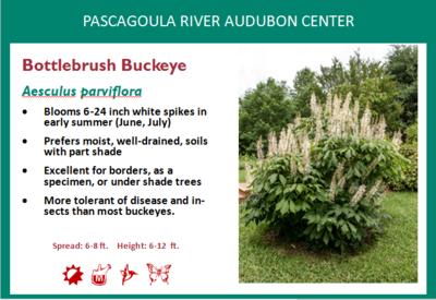 Bottlebrush Buckeye