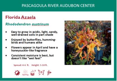 Florida Azalea