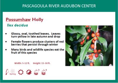 Possumhaw Holly
