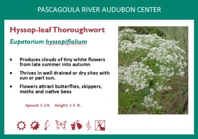 Hyssop-leaf Thoroughwort