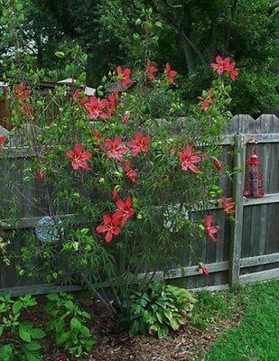 Scarlet Rosemallow (Quart)