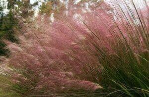 Pink Hair Grass