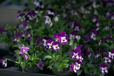 Hornveilchen (Viola cornuta) Kleiner Topf