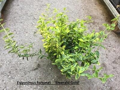 Spindelstrauch (Euonymus fortunei)