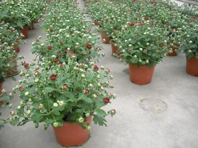 Chrysanthemen 12cm - Herbstaster