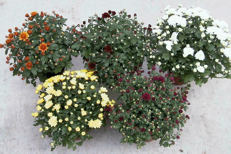 Chrysanthemen 15cm - Herbstaster