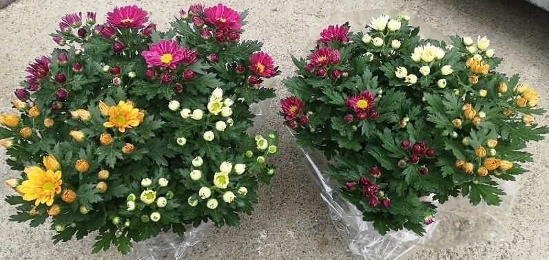 Chrysanthemen Harlekino - 4-5 Farben Mix im Topf 15cm