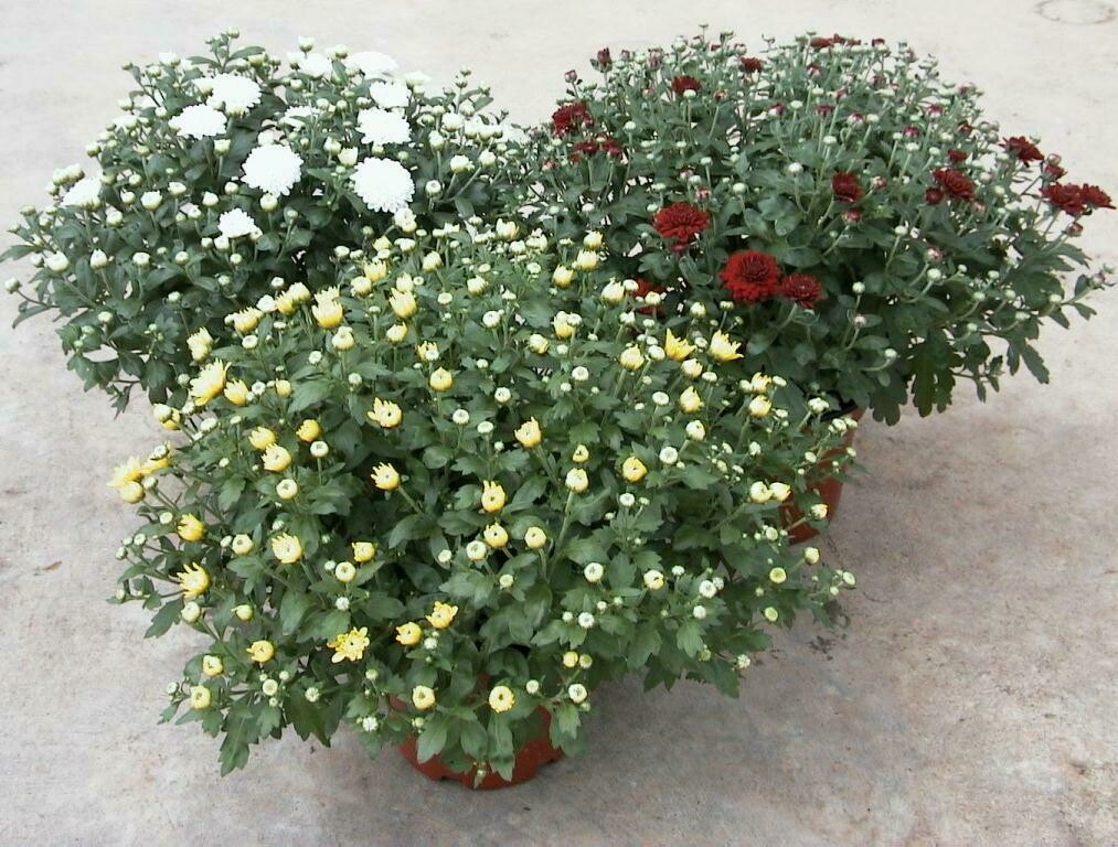Chrysanthemen Busch 19cm - Herbstaster