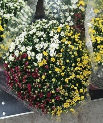 Chrysanthemen Busch Tricolor - Herbstaster