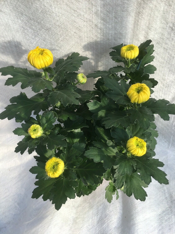 Deko-Chrysanthemen grossblumig 12cm